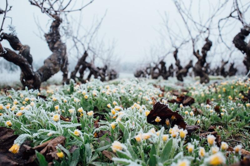reportage viticulture, Vin, vignes, Nantes, Angers, Cholet, Anjou, muscadet, crémant.