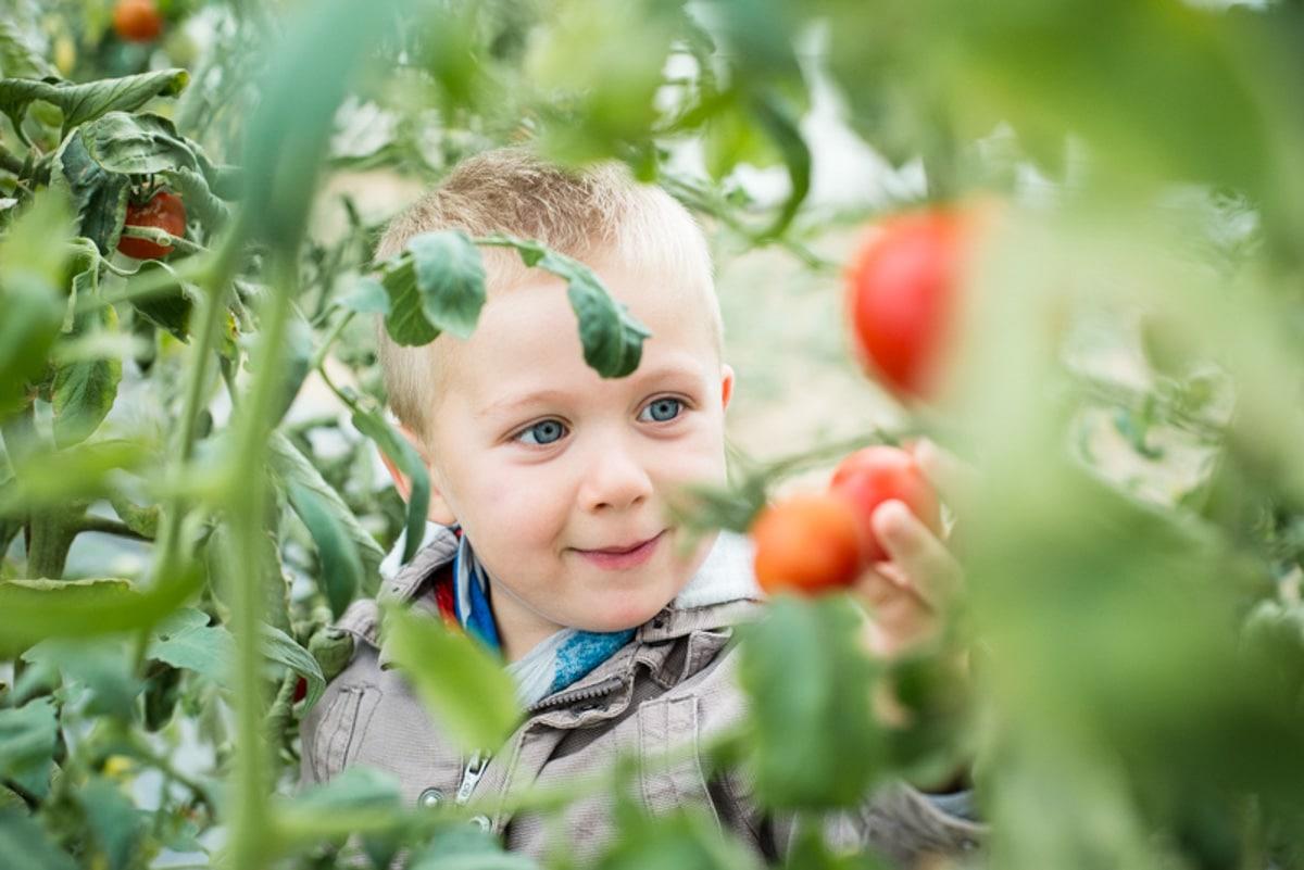 un garçon regarde une tomate pousser dans la serre de son papi à Saint Quentin en Mauges